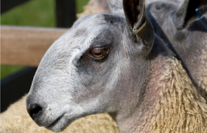 Blue Faced Leicester sheep breed