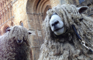 Lincoln sheep breed for wool
