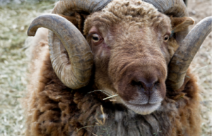 Rambouillet sheep breed for wool