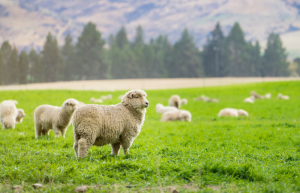 how intelligent are sheep