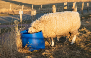 sheep eating from colored bucket